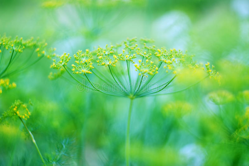 Green dill. Abstract photography of dill in garden.Small depth of field royalty free stock image