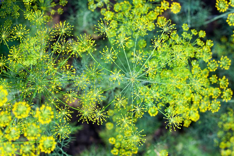 Green dill bush blurred background closeup top view, yellow fennel seeds branch, abstract natural floral bunch texture macro royalty free stock photography