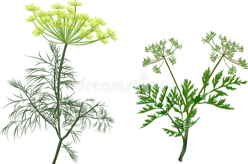 Green dill and celery isolated on white. Illustration with green dill and celery isolated on white background vector illustration