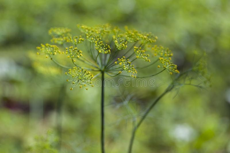 Green dill in the garden with a beautiful bokeh 2 royalty free stock photography