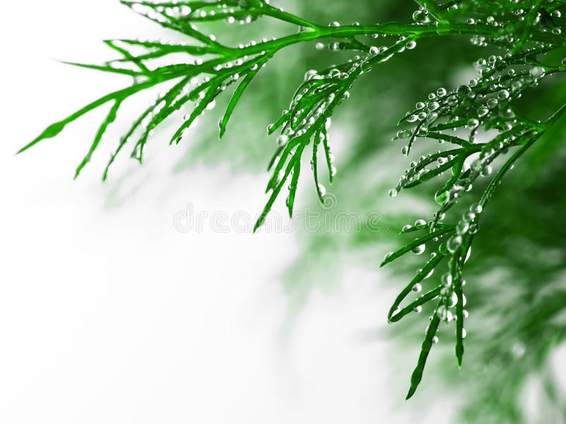 Green dill with water drops, close-up. On white background royalty free stock image