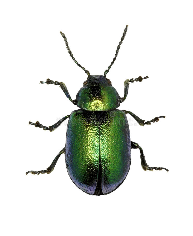 Free Green Dock Beetle On White Background Stock Images - 75862474