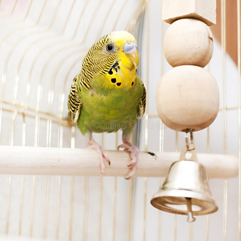 Download A Green Domestic Budgie Sitting In Cage Stock Photo - Image: 37873596