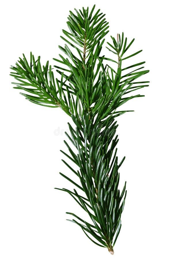 Green Douglas Fir Branch izolowany na białym tle obrazy stock
