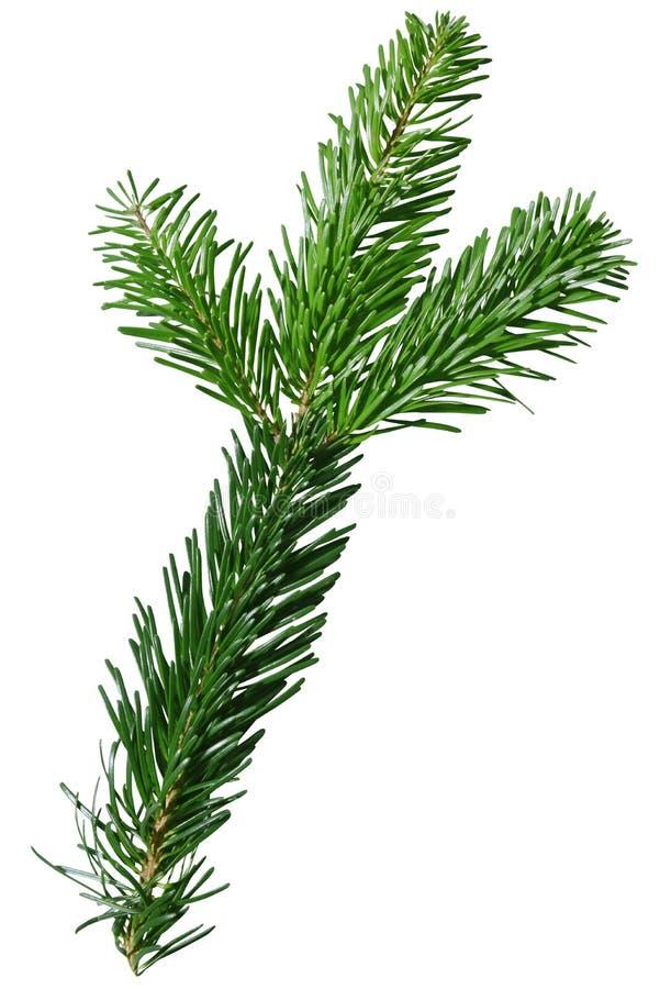 Green Douglas Fir Branch izolowany na białym tle obrazy royalty free