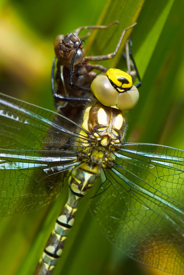 Free Green Dragonfly And Nymph Royalty Free Stock Photography - 2835577