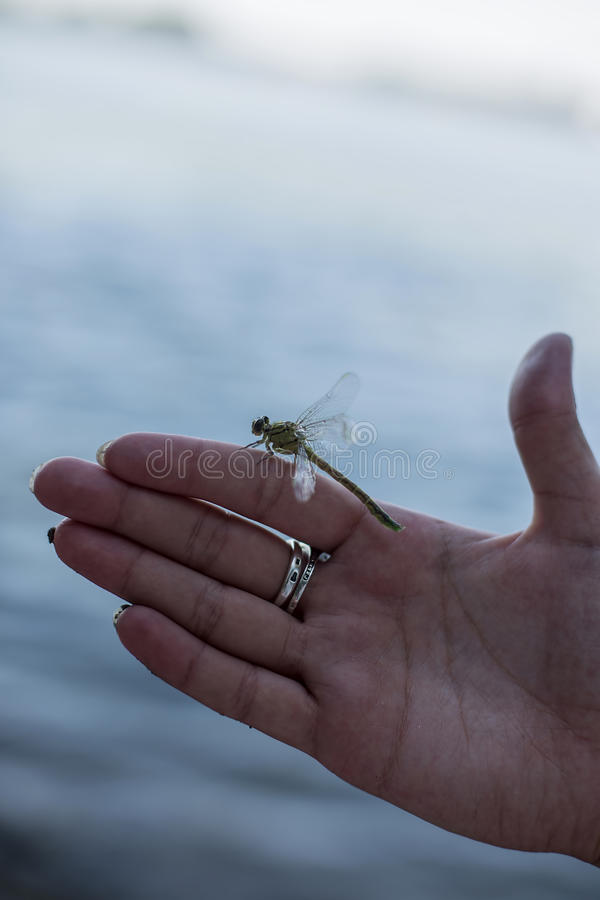 Green dragonfly landing on a female& x27;s hand stock photo