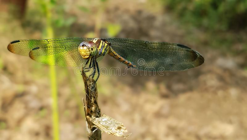 Green Dragonfly Perched on Brown Stem in Closeup Photography stock photo