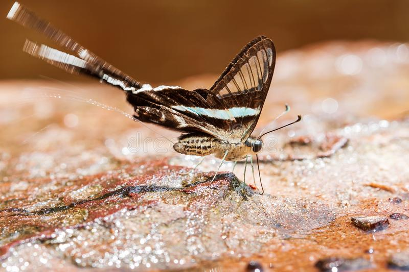 Green Dragontail Butterfly pee on salt lick stock photo