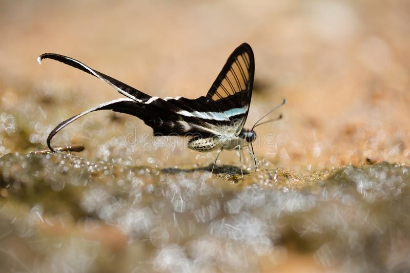 Green Dragontail Butterfly sucking and eating mineral on the ground stock photo