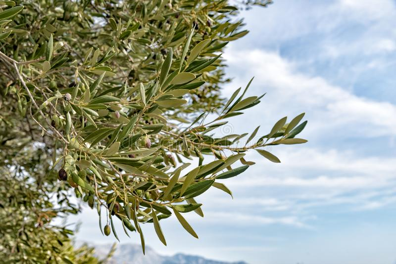 Green dried olives on a branch of an olive tree on the Adriatic coast stock photo