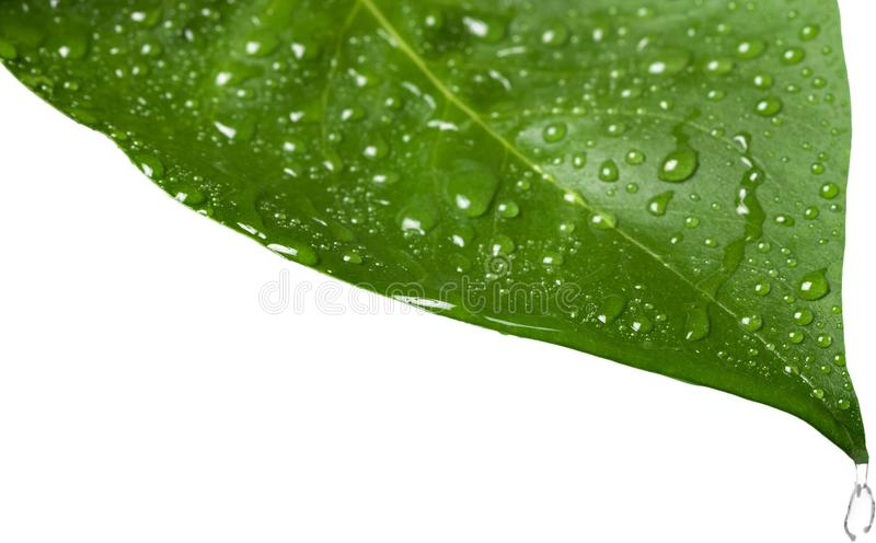 Green Leaf with Water drops isolated on white stock image
