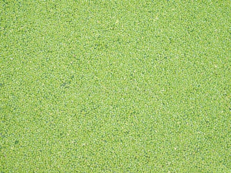 Download Green duckweed stock image. Image of greenish, texture - 21174353