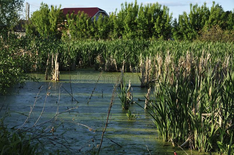 Green duckweed in swamp bog quagmire with reeds on the background of new housing and apartment buildings on the outskirts of a stock image