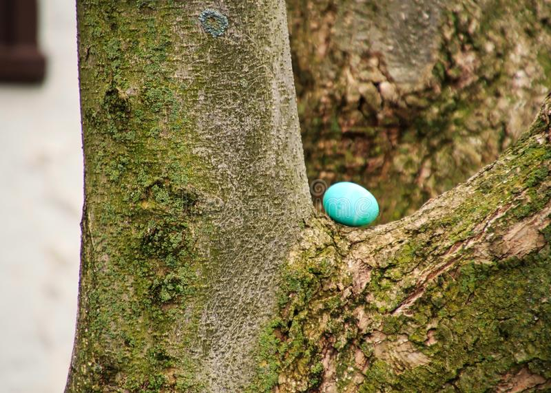 Blue-dyed Easter egg is hidden on a tree crook. Green-dyed Easter egg is hidden on a ledge on tree in backyard for an Easter egg hunt in spring stock images