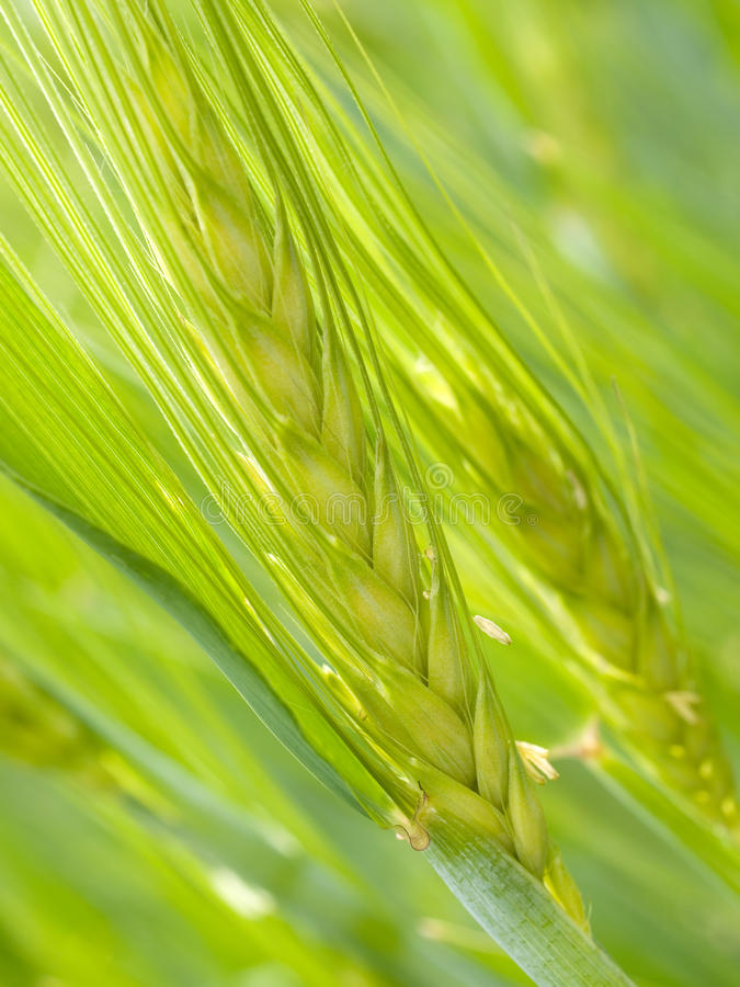 Download Green ear. stock image. Image of green, closeup, agriculture - 19738277