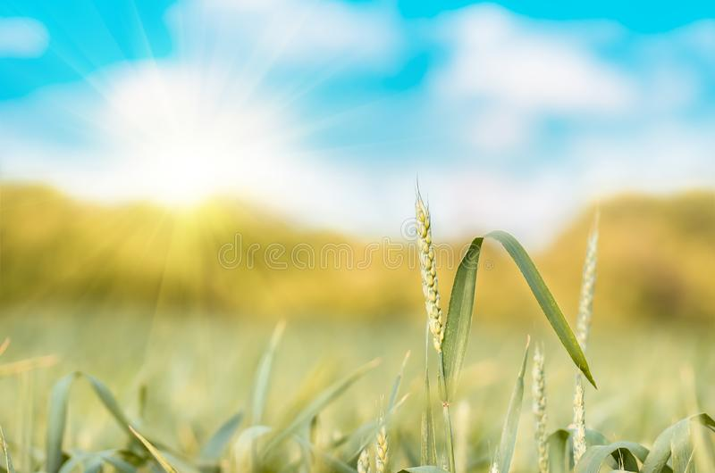 Green ear wheat growing and maturing on the field. Green wheat ear growing and maturing on the field in spring and summer, agricultural background royalty free stock photos