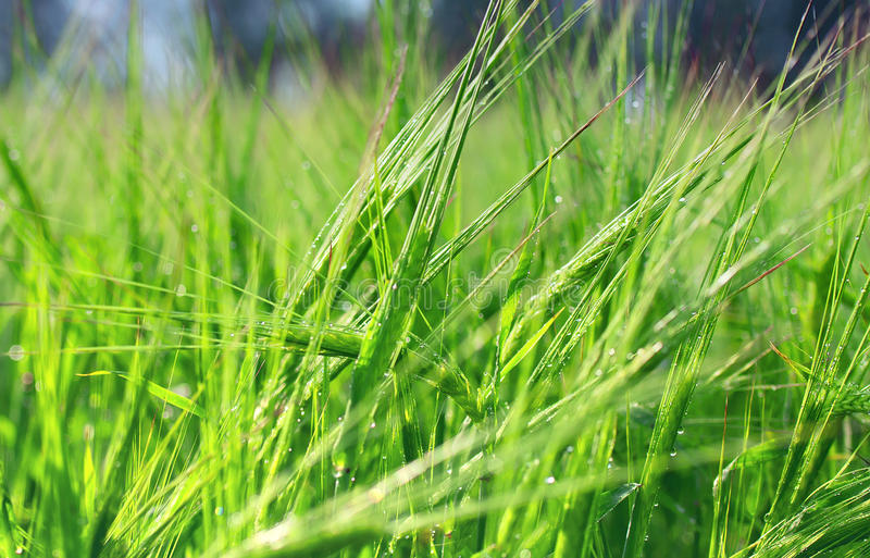 Download Green ears stock image. Image of nobody, grass, nature - 25700321