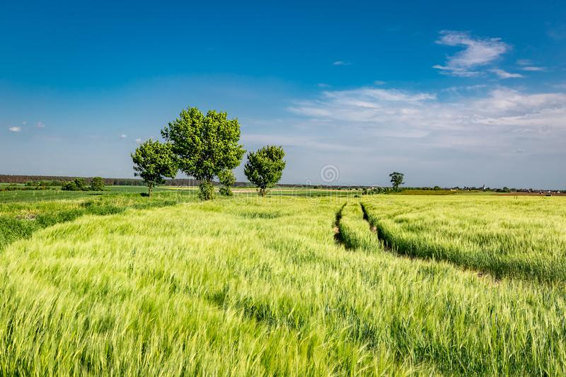 Green ears of grain on field in summer stock images
