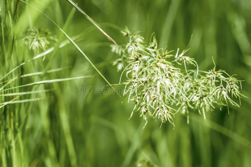 Green ears in grass, summer morning. Concept of freshness and novelty, nature, eternal spring, environmental, ecology royalty free stock image