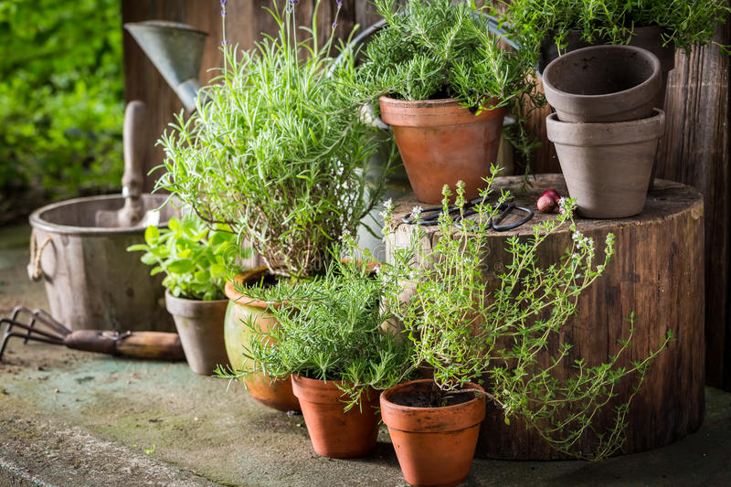 Green and ecological herbs in old clay pots. Closeup of green and ecological herbs in old clay pots stock photos