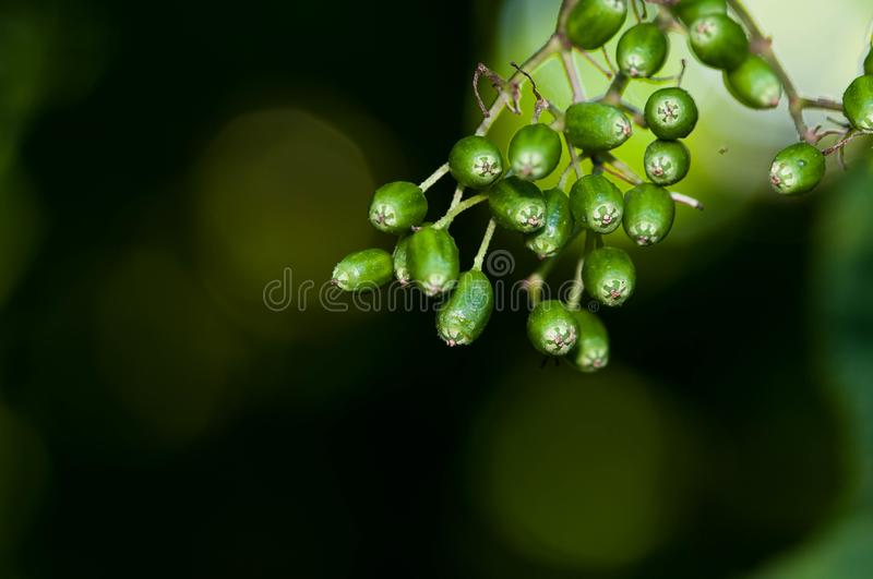Green elder fruit sambucus close up macro shot royalty free stock photos