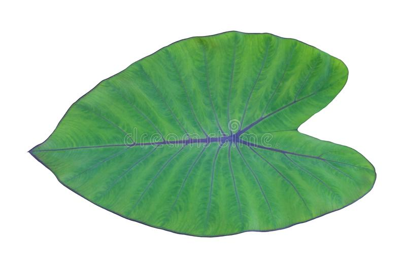 Green elephant ear taro or caladium leaf isolated on white background royalty free stock image