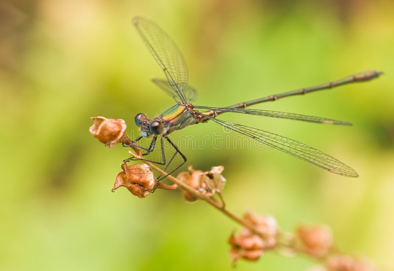 Green emerald damselfly. Resting from hunting flight royalty free stock images