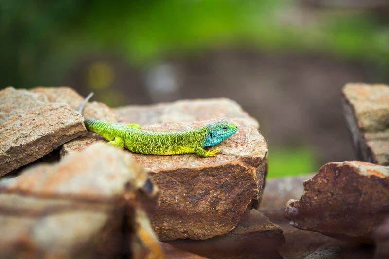 Green emerald glossy gecko lizard sunbathing on a rock stock photo