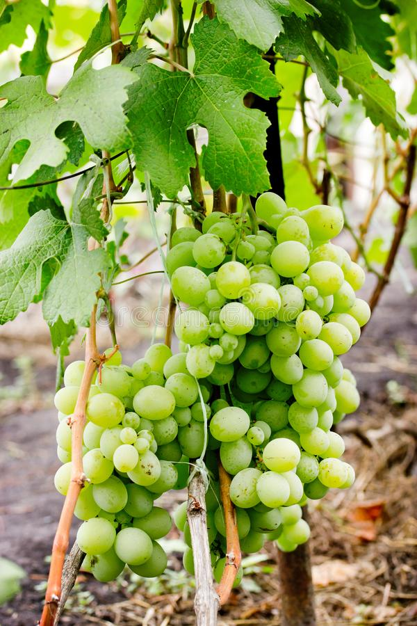 Green emerald grape bunches hanging on the branches royalty free stock images