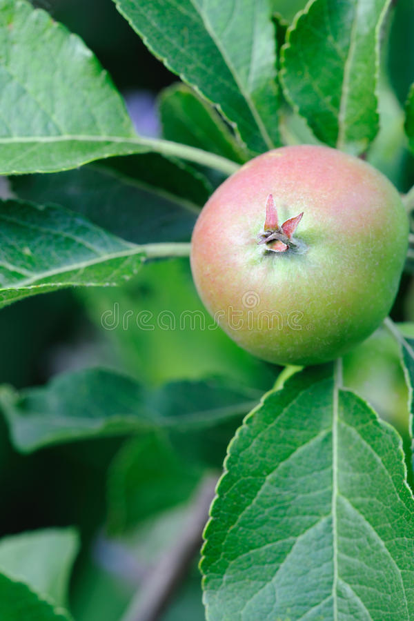 Green English apple, with red blush, ripening stock photo