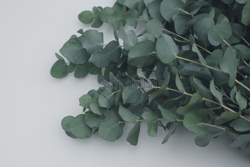 Green eucalyptus baby blue branch on white background. royalty free stock photos