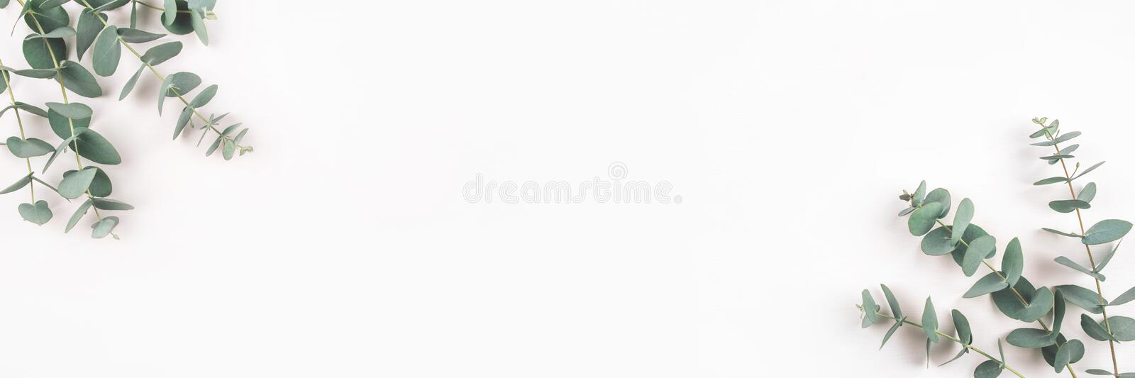 Green eucalyptus branches on a white background. stock images