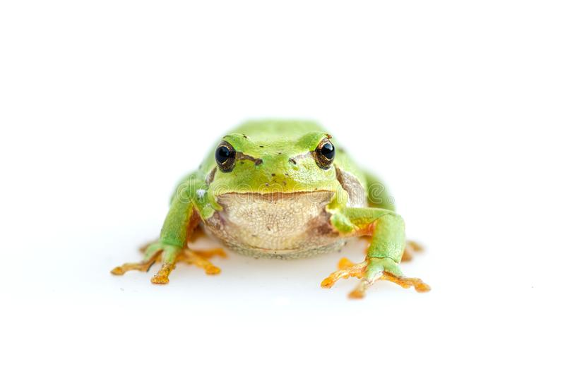 Green european common frog Hyla meridionalis stock image