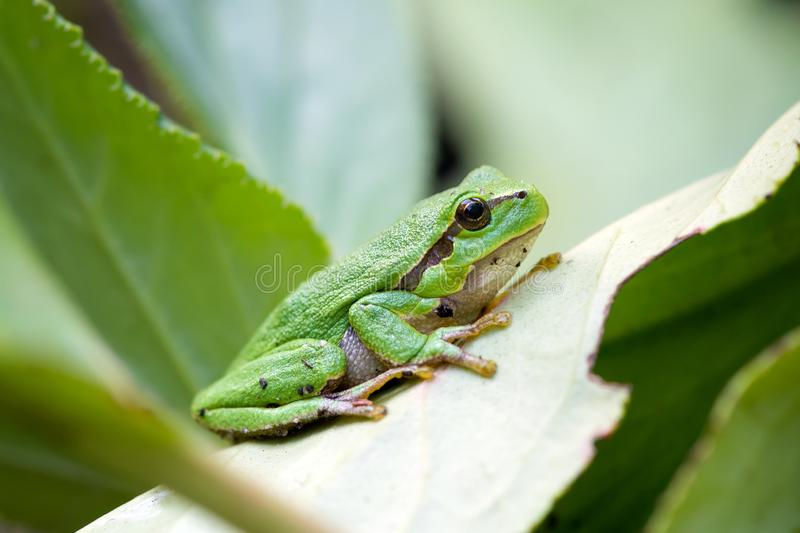 green european common frog stock image