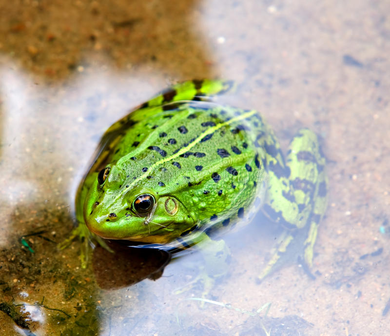 Download Green European frog stock photo. Image of green, leaf - 20645654