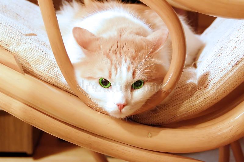 Green eye cat royalty free stock images