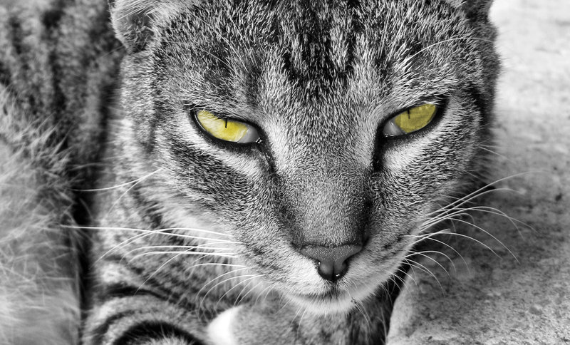 Green eyed cat. House cat in black and white with green yellow eyes royalty free stock photos