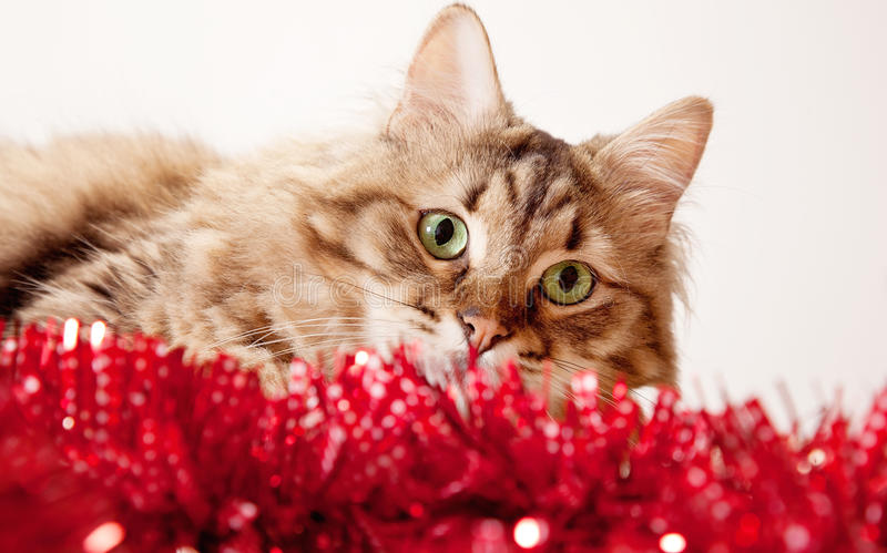 Green eyed cat. Playing with Christmas decoration royalty free stock images