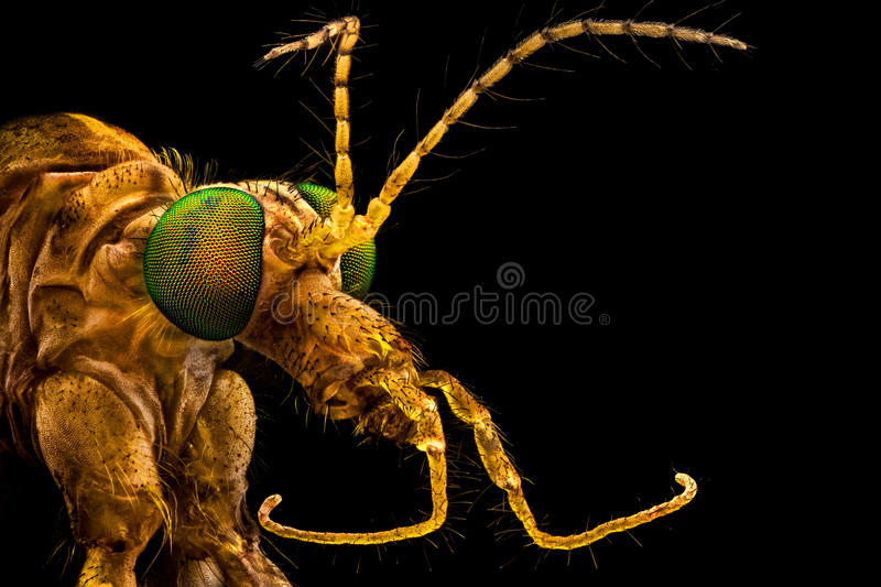 Green eyed crane fly royalty free stock image