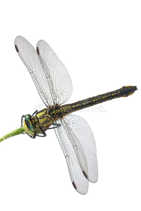 Green-eyed dragonfly. Against white background royalty free stock image
