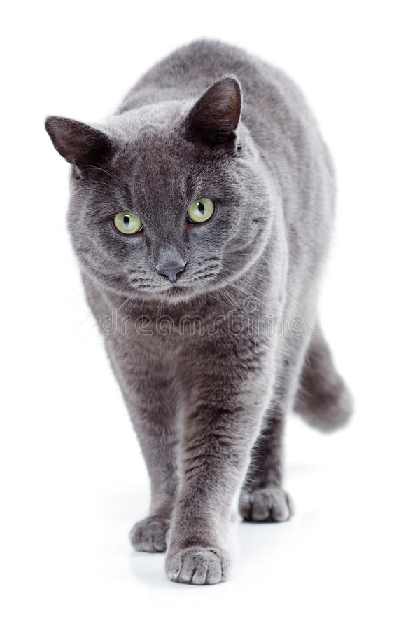 Free Green Eyed Maltese Cat Also Known As The British Blue Royalty Free Stock Image - 36985826