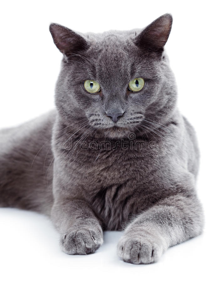 Free Green Eyed Maltese Cat Also Known As The British Blue Royalty Free Stock Image - 36985966
