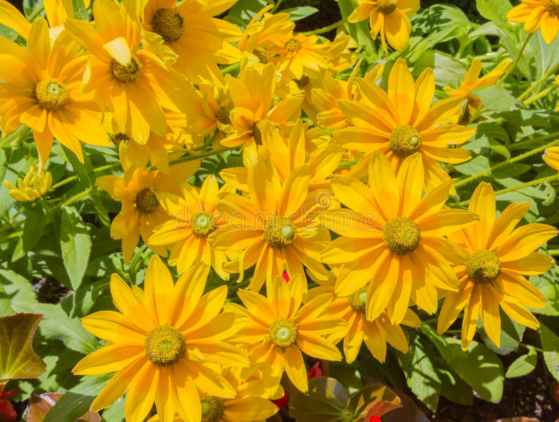 Green-Eyed Susan Yellow Flowers royalty free stock photo