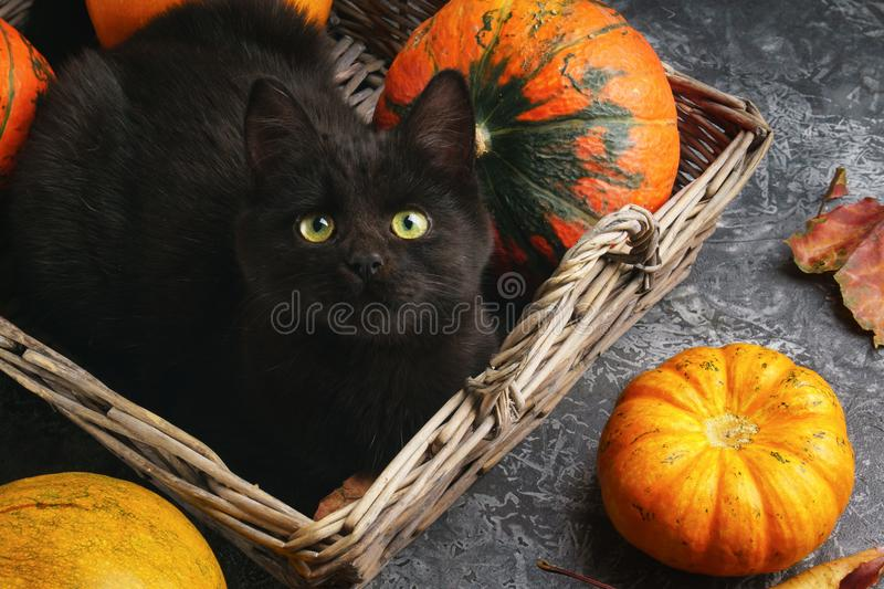 Green eyes black cat and orange pumpkins on gray cement background with autumn yellow dry fallen leaves. Green eyes black cat and orange pumpkins in wooden royalty free stock images