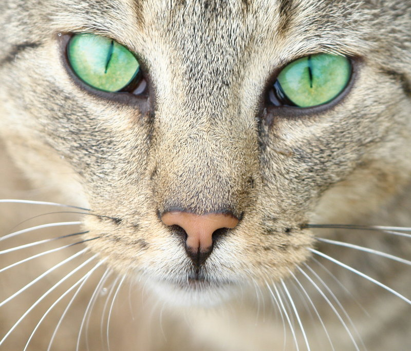 Green eyes of a cat. Close-up of a cat's head. Focus on emerald green eyes stock photography