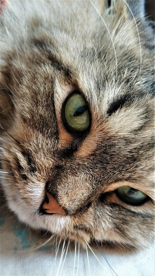 Green eyes of a cat of siberian close up stock photo