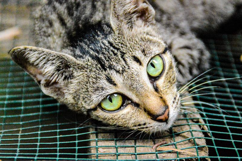 Green eyes spotted you. These green cat`s eyes will not leave you after they`ve spotted you stock photo