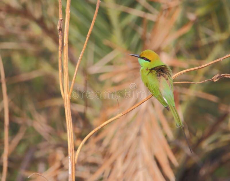 green för bifågeleater royaltyfri foto