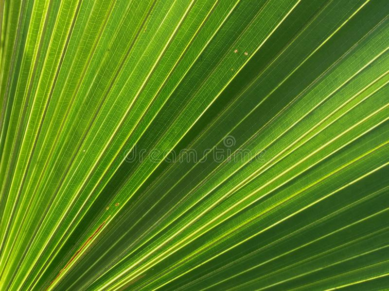 Green fan palm leaf background. Concept about geometric lines in nature pattern stock images